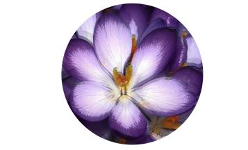 Flores_-y_su_significado_violetasb